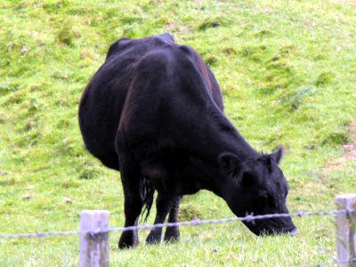 grass fed milk cow